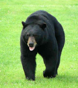 Black-bear-0012